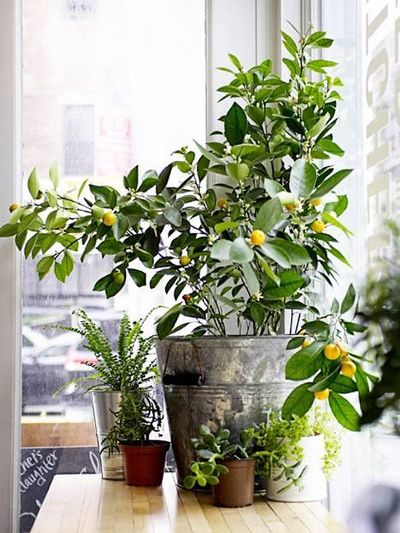 Fruit Trees You Can Grow in Your Living Room